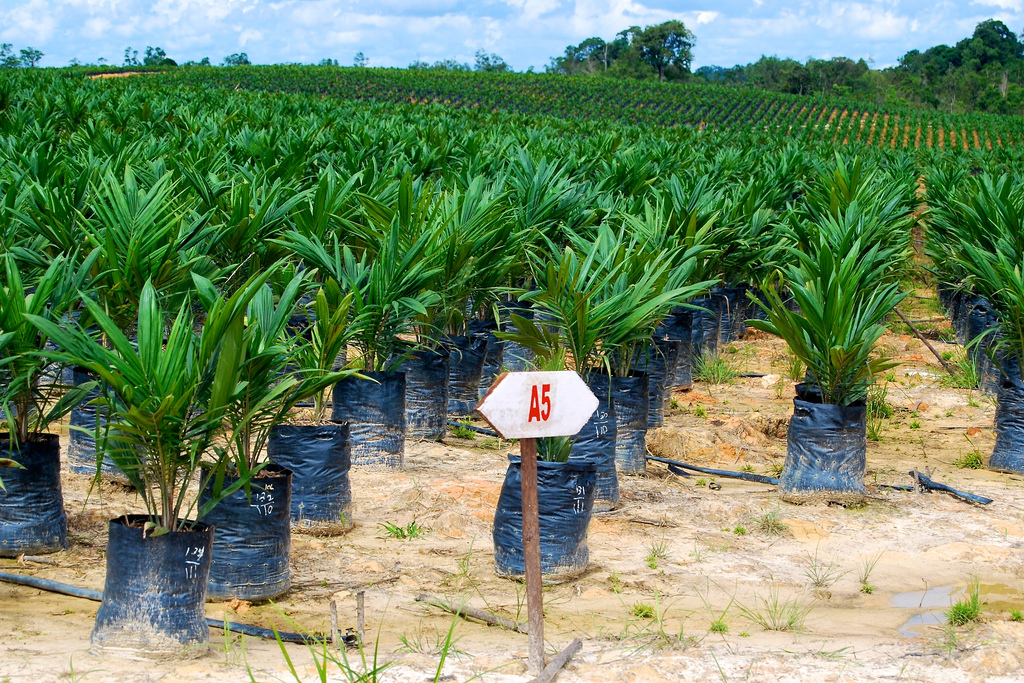 Oil palm seedling in West Kalimantan, Indonesia. PHOTO: Yayan Indriatmoko for CIFOR (Flickr)