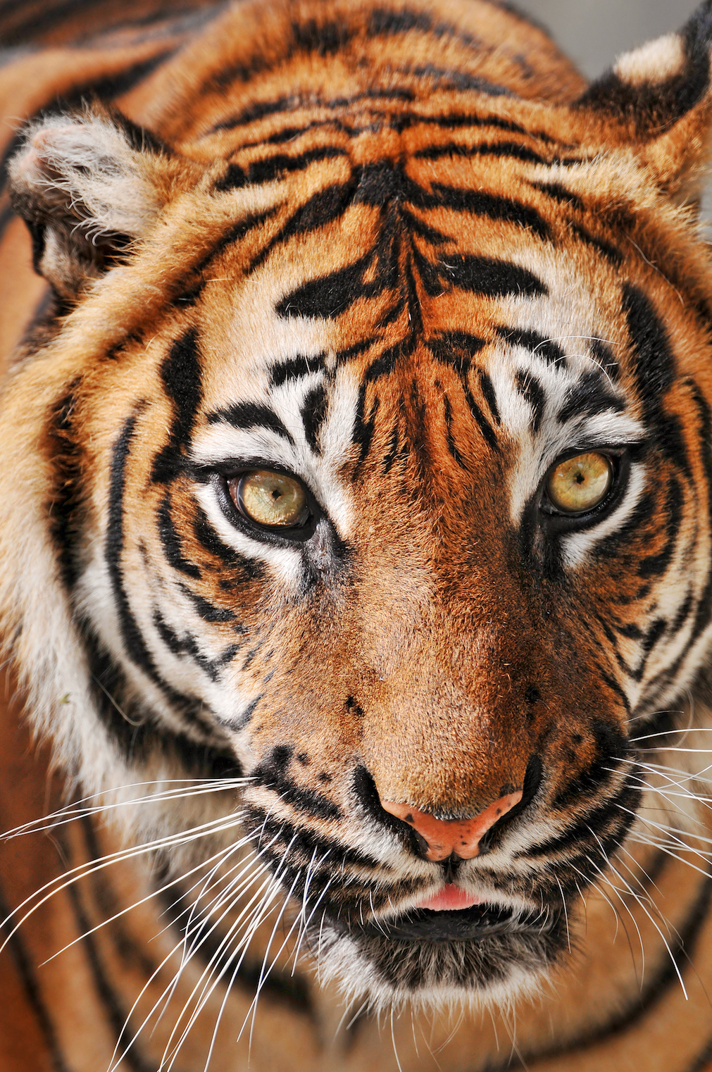 tiger headshot