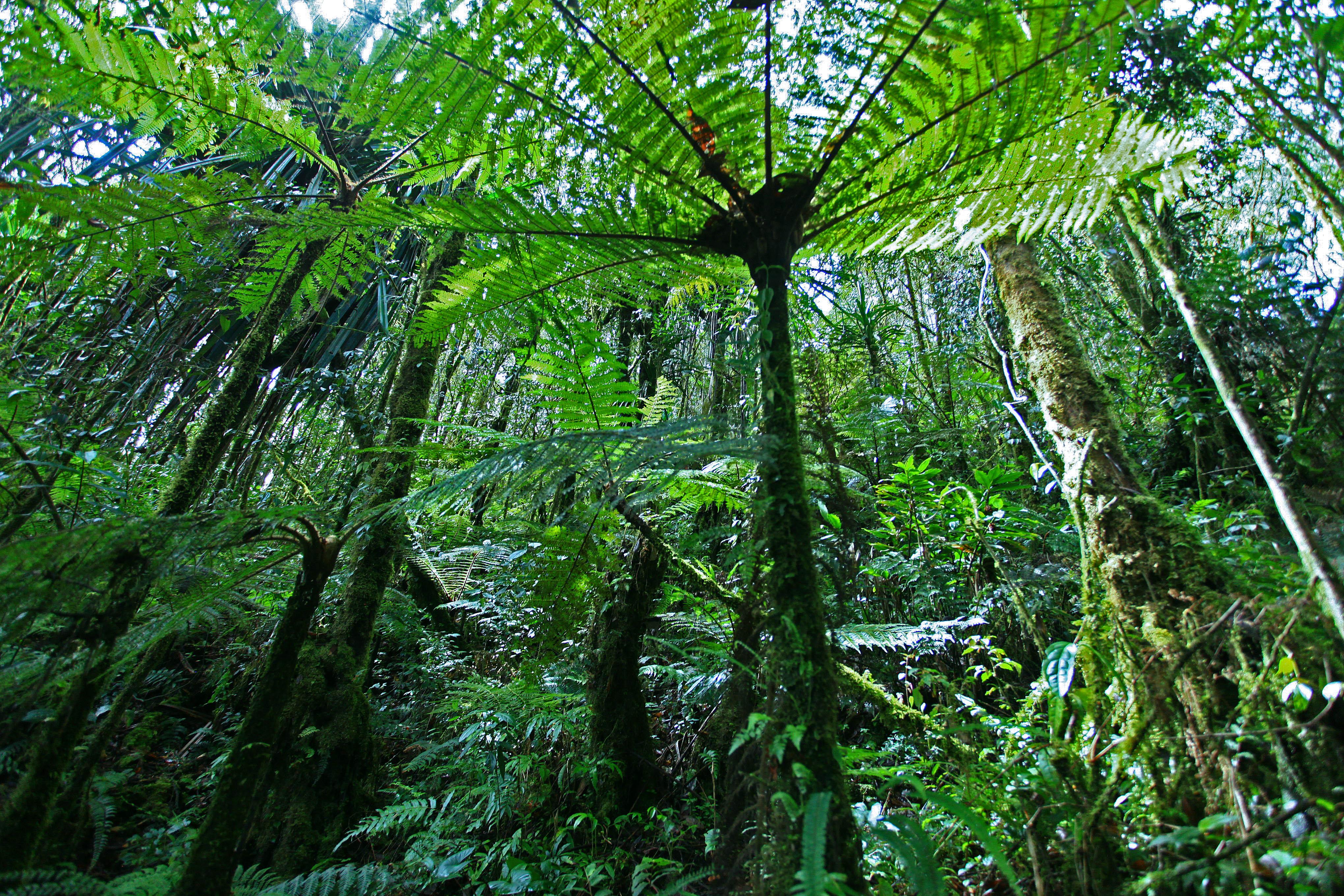 21_Cyathea_Papua_Rain_Forest_Papua-Indonesia