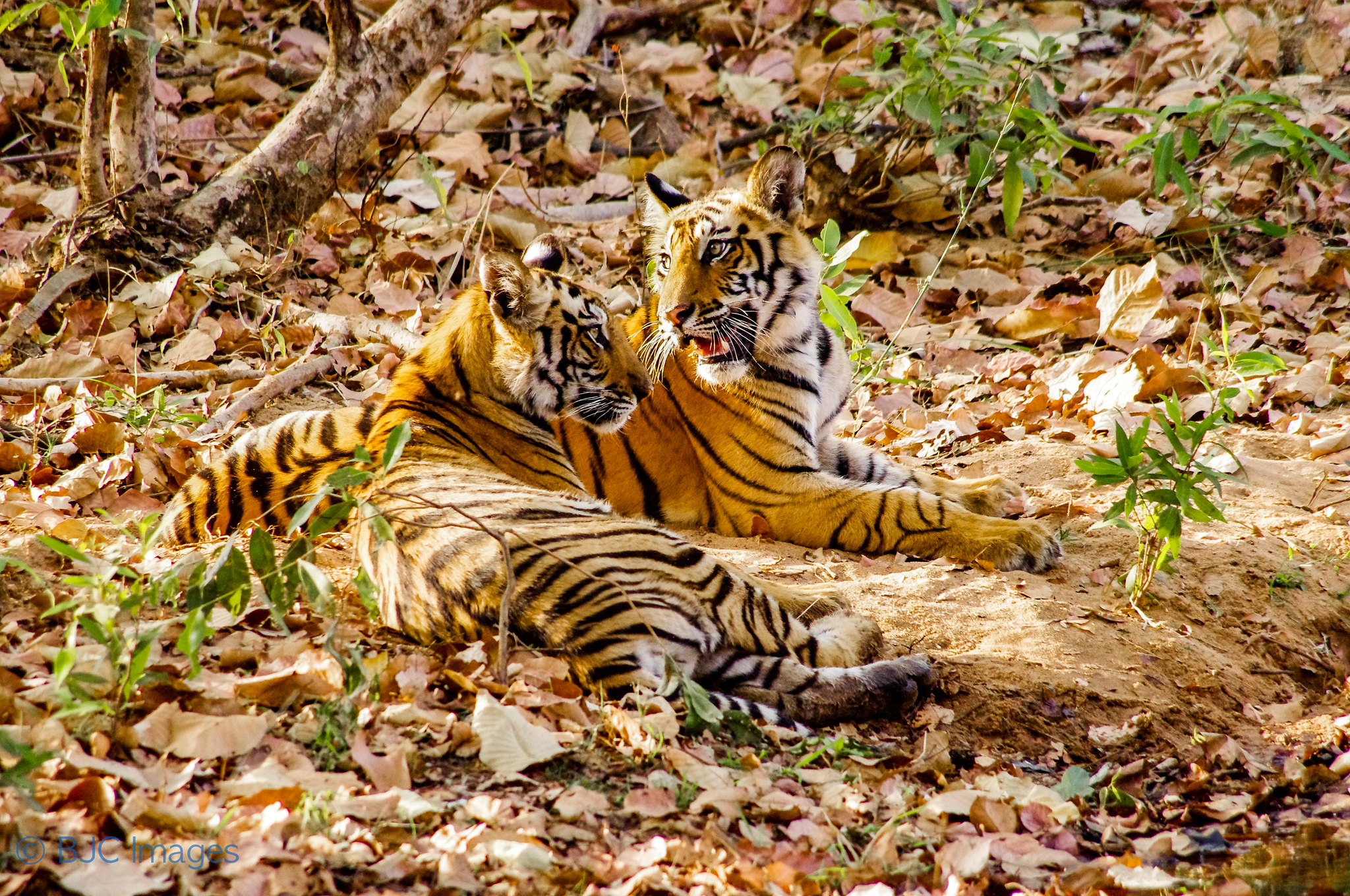Tiger cubs sit together on forest floor