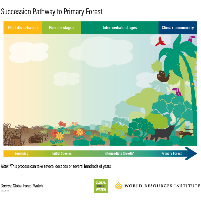 forest successional pathway from disturbance to primary forest