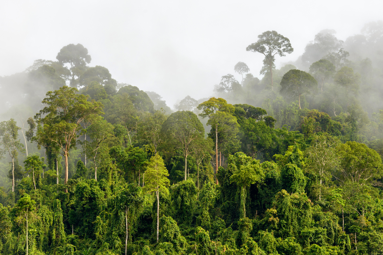 Treetops of Dense Tropical Rainforest With Morning Fog Located N